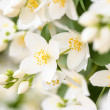Jasmine blossom, selective focus — Stock Photo