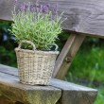 Basket of lavender on wooden bench in summer garden — Stock Photo