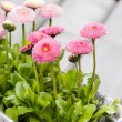 Pink daisies on wooden table — Stock Photo