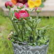 Persian buttercup flowers (ranunculus) in grey pot — Stock Photo