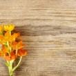 A bright orange ornithogalum (bird milk) flower isolated on wood — Stock Photo
