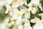 Jasmine blossom, selective focus — Stock Photo