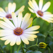 White african moon daisy, oxeye daisy. Wallpaper, background — Stock Photo #28367847