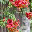 Campsis (trumpet creeper, trumpet vine) flower blossom — Stock Photo #29668085