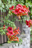 Campsis (trumpet creeper, trumpet vine) flower blossom — Stock Photo