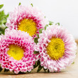 Aster flowers — Stock Photo