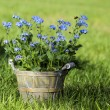 Forget me not flower in grey wooden pot on fresh green grass — Stock Photo
