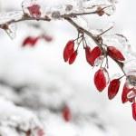 Berberis rama bajo la nieve y el hielo. enfoque selectivo — Foto de Stock