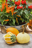 Colorful pumpkins and peppers on wooden table in the garden — Stock Photo