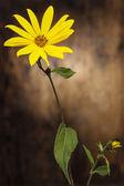 Jerusalem artichoke flower on wooden background. Copy space — Stock Photo