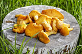 Cantharellus cibarius, commonly known as the chanterelle — Stock Photo