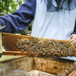 Beekeeper at work. Bees at hive in lush summer garden. — Stock Photo #39024305