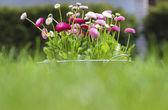Eimer voller gänseblümchen rosa, rot und weiße daisy blumen — Stockfoto