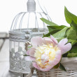 Stock Photo: Pink peony on white vintage birdcage. Copy space.