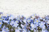 Fleurs de myosotis sur fond en bois — Photo
