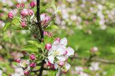 Blommande apple gren i vår fruktträdgård — Stockfoto