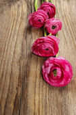 Pink persian buttercup flower (ranunculus) on wooden background. — Stock Photo