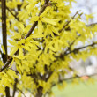 Blooming forsythia. Symbol of spring and easter — Stock Photo #47977061