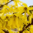 Blooming forsythia. Symbol of spring and easter — Stock Photo #47977093