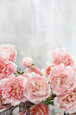 Pink carnation flowers — Stock Photo