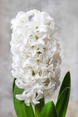 Beautiful white hyacinth flower on wooden background. — Stock Photo