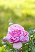 Pink Persian Buttercup Flower (Ranunculus asiaticus) — Foto de Stock
