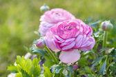 Pink Persian Buttercup Flower (Ranunculus asiaticus) — 图库照片