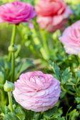 Pink Persian Buttercup Flower (Ranunculus asiaticus) — Foto Stock
