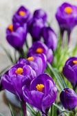 Hermosas azafranes violetas sobre fondo gris. copia espacio — Foto de Stock