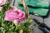 Wicker basket of pink persian buttercup flowers. — Foto de Stock