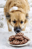 Dog stealing a cookie — Stock Photo
