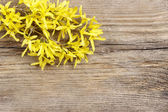 Forsythia on wooden background. Copy space — Foto Stock