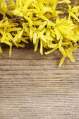Forsythia on wooden background. Copy space — Stock fotografie