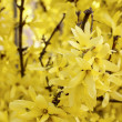 Blooming forsythia. Symbol of spring and easter — Stock Photo #48066303