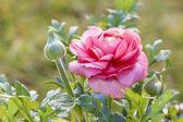 Pink Persian Buttercup Flower (Ranunculus asiaticus) — Photo