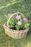 Wicker basket of pink persian buttercup flowers. — Photo