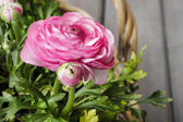 Wicker basket of pink persian buttercup flowers. — Stock Photo