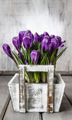 Beautiful violet crocuses in white wooden box — Stockfoto