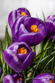 Beautiful violet crocuses — Stockfoto