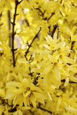 Blooming forsythia. Symbol of spring and easter — Stock Photo
