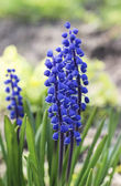 Single blue muscari flower (Grape Hyacinth) — Stock Photo