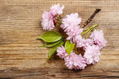 Beautiful flowering almond (prunus triloba) on wooden background — Stock Photo