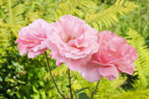 Pink roses in lush summer garden — Stockfoto