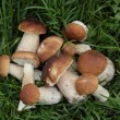 Porcini mushrooms on the grass — Stock Photo