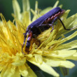 Bug on dandelion macro photo — Stockfoto #25994941