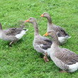 Stock Photo: Four geese on the meadow