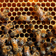 Bees on honeycomb eating honey - Stockfoto