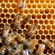Bees on honeycomb eating honey - Photo