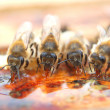 Bees eating honey - Stock Photo