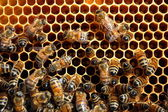 Bees on honeycomb eating honey — ストック写真